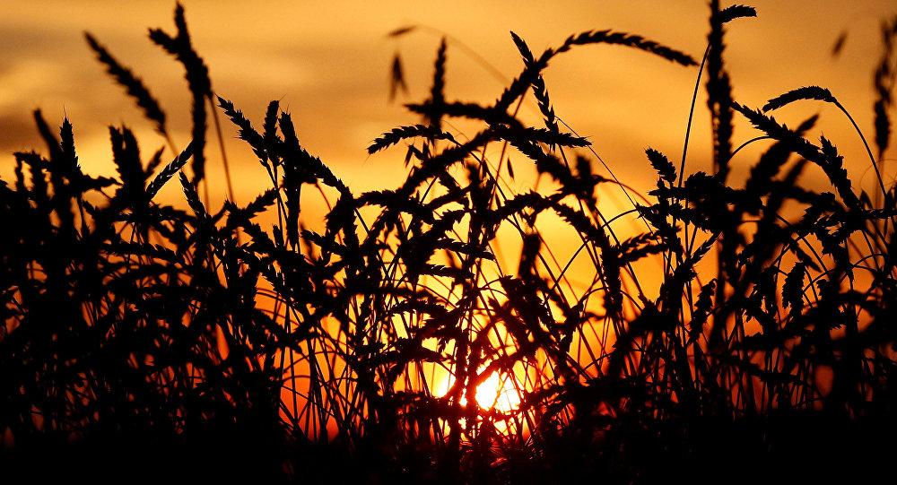 Politikalar çiftçiyi ekimden vazgeçirdi, buğday da alarm veriyor!