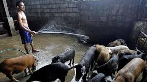 Çin'de domuz enflasyonu