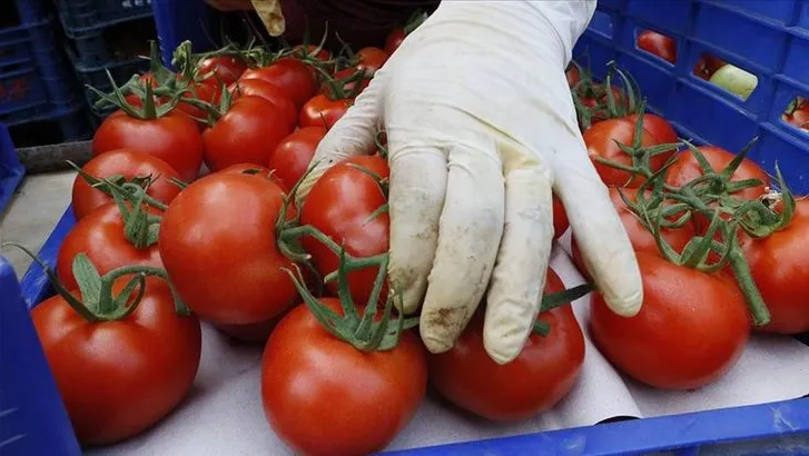 Rusya'ya domates kotası yine doldu!